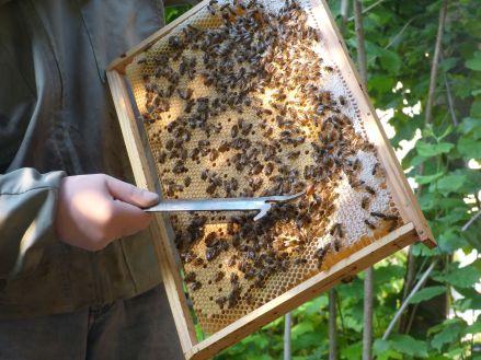 Que chaque visiteur puisse voir la reine au milieu des abeilles !